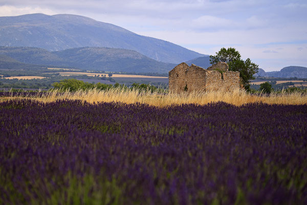 Lavendel,Lavender,Lavendula angustifolia 0056