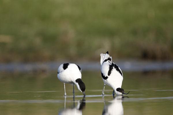Säbelschnäbler,Recurvirostra avosetta,Avocet 25
