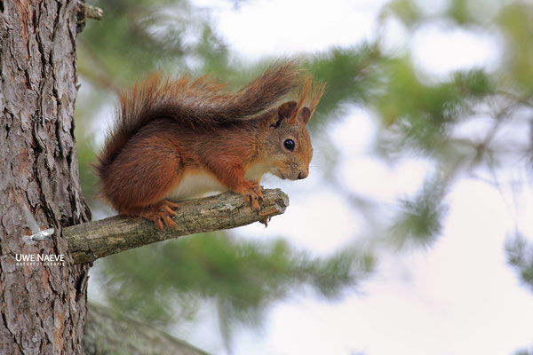 Eichhoernchen,Sciurus vulgaris,Red Squirrel 0009