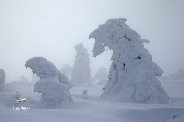 Harz, Brocken,Fichtenwald im Winter 8794
