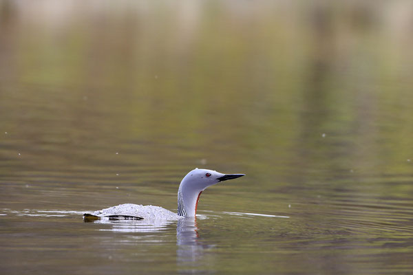 Sterntaucher,Gavia stellata,Red-throated Diver 0003