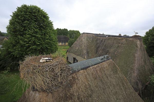 Storchenberingung in Bergenhusen 8687