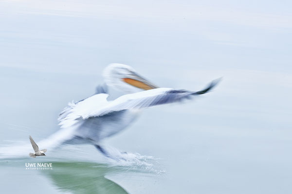 Krauskopfpelikan,Dalmatien pelican,pelecanus crispus  0101