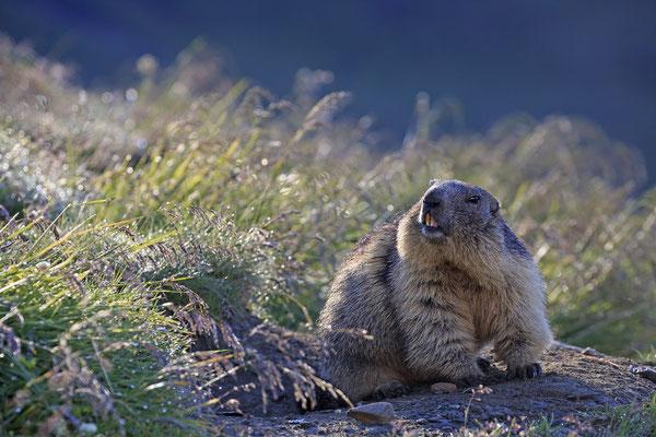 Alpenmurmeltier,Marmota,Marmot 0081