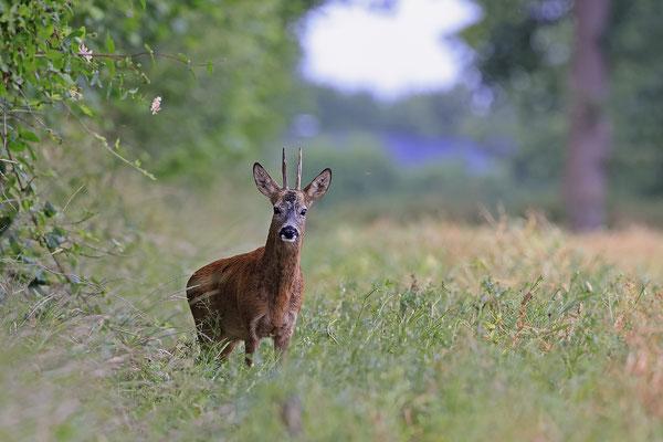 Rehbock,Capreolus capreolus,Roe Deer buck 0269