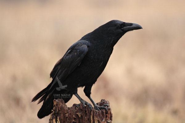 Kolkrabe,Corvus corax,Raven 0001