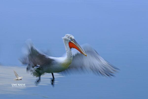Krauskopfpelikan,Dalmatien pelican,pelecanus crispus 0021