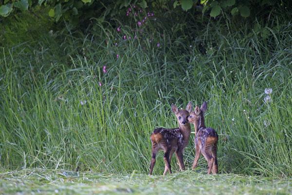 Rehkitz,Roe Deer fawn,Capreolus capreolus 0095