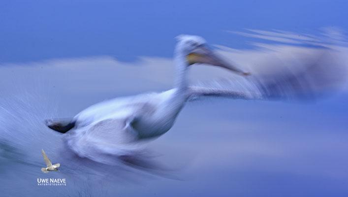 Krauskopfpelikan,Dalmatien pelican,pelecanus crispus 0018