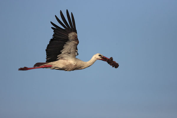 Weissstorch,White Stork,Ciconia ciconia 0012