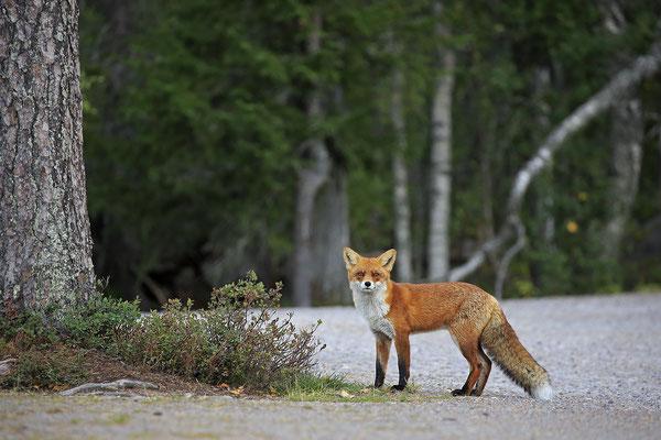 Rotfuchs,Vulpes vulpes,Red Fox 0039