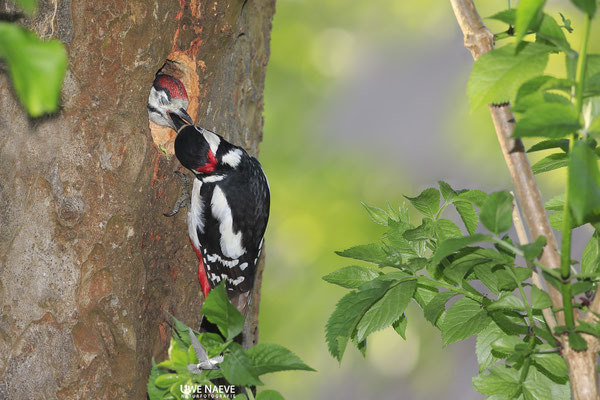 Buntspecht,Great Spotted Woodpecker,Dendrocopos mayor 0055