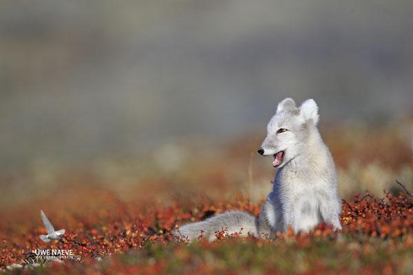 Polarfuchs,Eisfuchs,Arctic Foxes,Alopex lagopus,Vulpex lagopus 0111