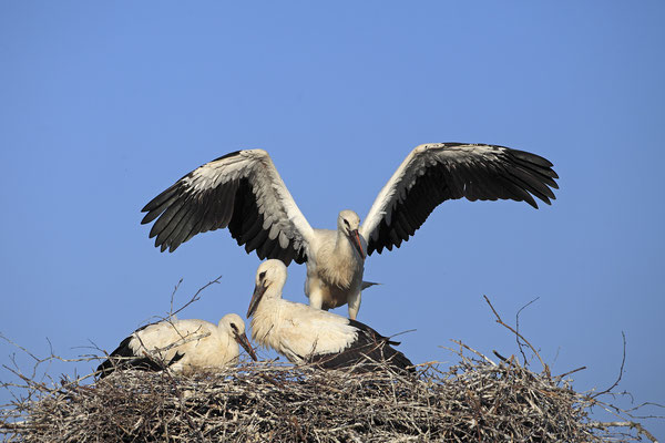 Weissstorch,White Stork,Ciconia ciconiab0088