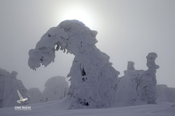 Harz, Brocken,Fichtenwald im Winter 8802