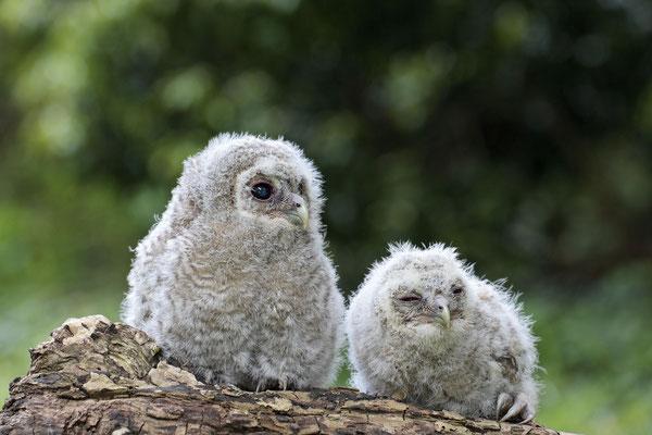 Waldkauz,Strix aluco,Tawny Owl 0002