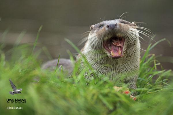 Fischotter,Otter,Lutra lutra 0083
