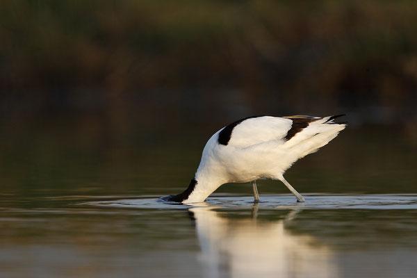 Säbelschnäbler,Recurvirostra avosetta,Avocet 7