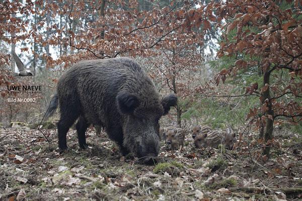 Wildschweinbache,Wild Boar sow,Sus scrofa 0002