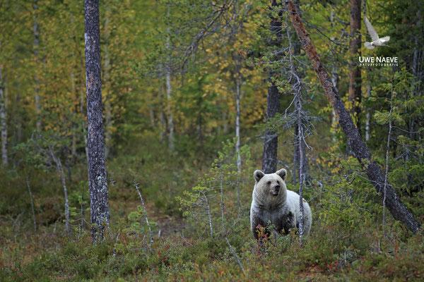 Braunbaer Ursus arctos brown bear 0061