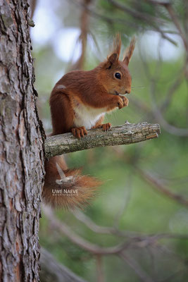 Eichhoernchen,Sciurus vulgaris,Red Squirrel 0026