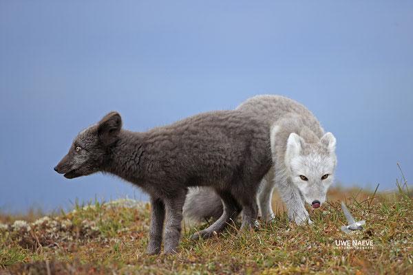 Polarfuchs,Eisfuchs,Arctic Foxes,Alopex lagopus,Vulpex lagopus 0107