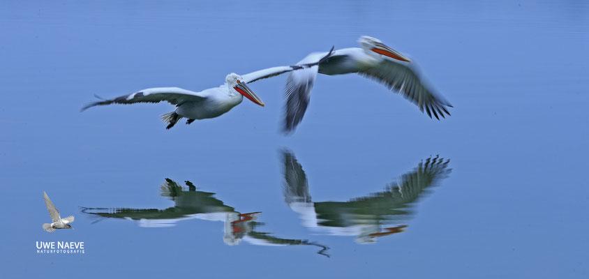 Krauskopfpelikan,Dalmatien pelican,pelecanus crispus 0019
