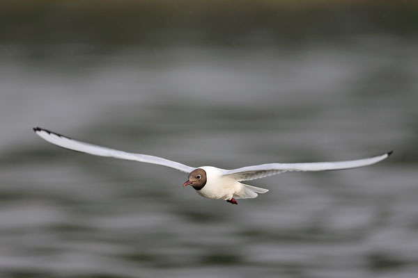Lachmoewe ,Larus ridibundes,Black-headed Gull 0052
