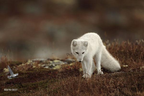 Polarfuchs,Eisfuchs,Arctic Foxes,Alopex lagopus,Vulpex lagopus 0037