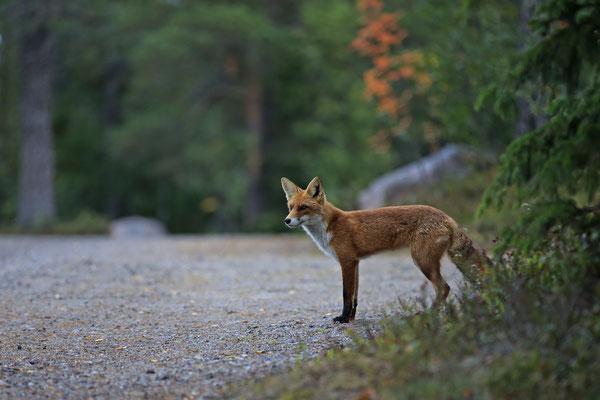 Rotfuchs,Vulpes vulpes,Red Fox 0033
