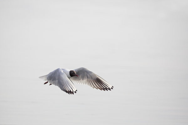Lachmoewe ,Larus ridibundes,Black-headed Gull 0053