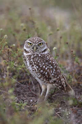 Kaninchenkauz, Burrowing Owl,Speotyto cuniculuria 0028