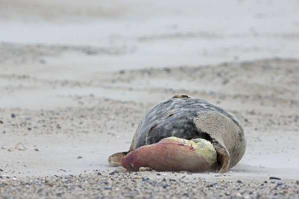 Kegelrobbe,Grey Seal,Halichoerus grypus 0128