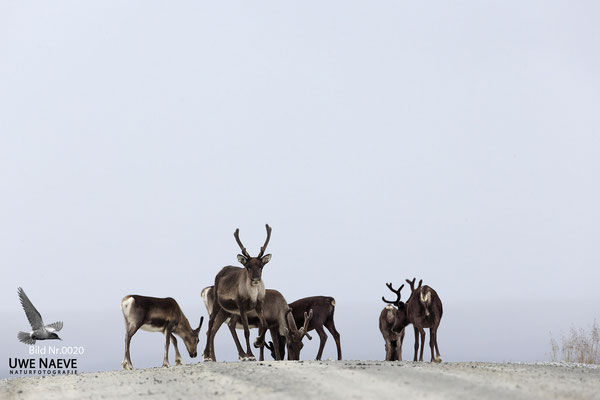 Ren Rentier Rangifer tarandus Reindeer 0020