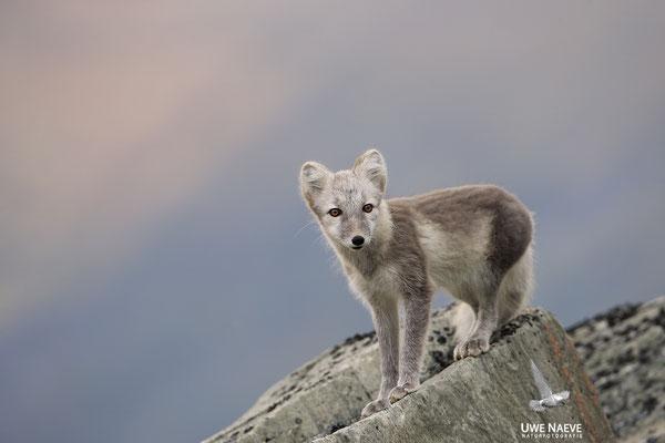 Polarfuchs,Eisfuchs,Arctic Foxes,Alopex lagopus,Vulpex lagopus 0088