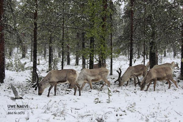 Ren Rentier Rangifer tarandus Reindeer 0070
