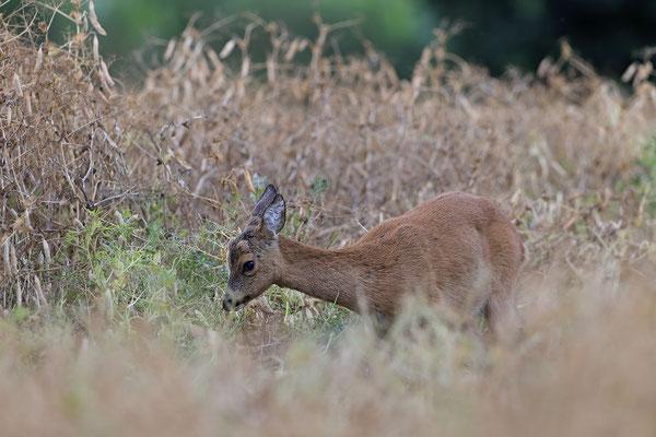 Reh,Ricke,Roe Deer doe,Capreolus capreolus 0230