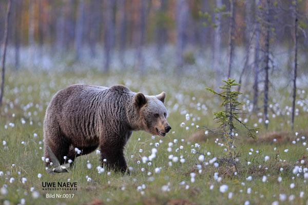 Braunbaer Ursus arctos brown bear 0017