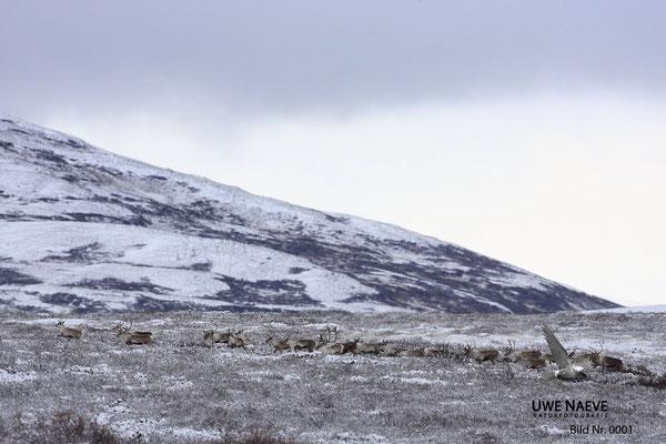 Ren Rentier Rangifer tarandus Reindeer 0001