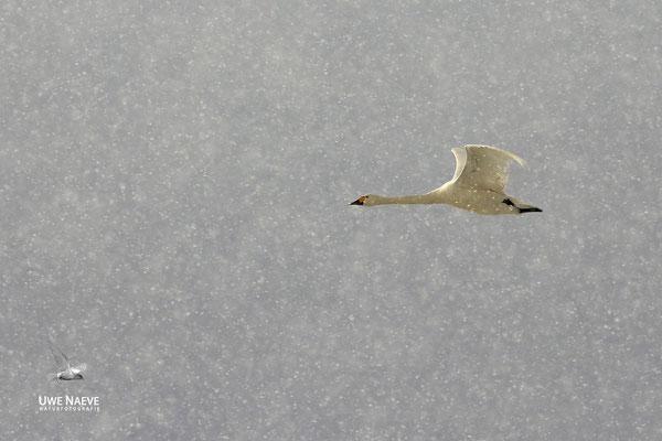 Zwergschwaene,Cygnus bewickii,Bewicks Swan 0076