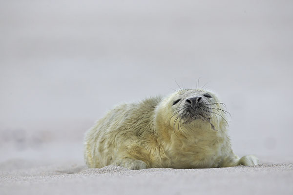 Kegelrobbe,Grey Seal,Halichoerus grypus 0170