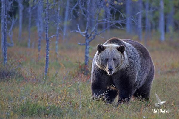 Braunbaer Ursus arctos brown bear 0079