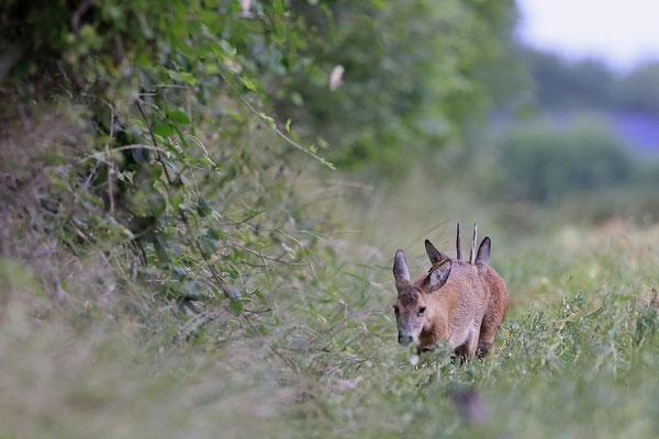 Rehbock,Capreolus capreolus,Roe Deer buck 0261