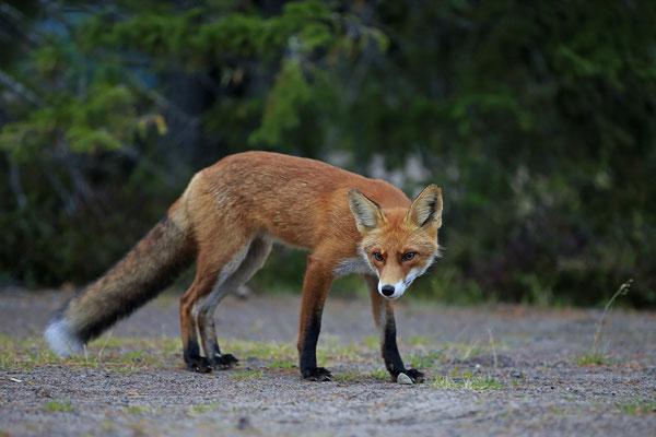 Rotfuchs,Vulpes vulpes,Red Fox 0035