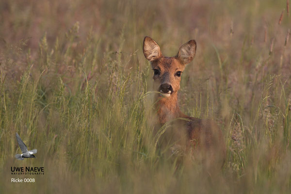 Reh,Capreolus capreolus,Roe Deer
