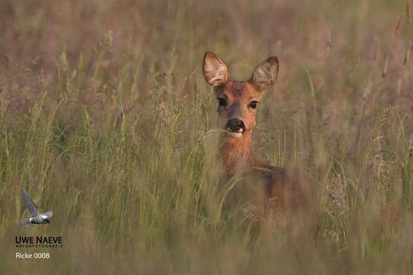 Reh,Ricke,Roe Deer doe,Capreolus capreolus 0008