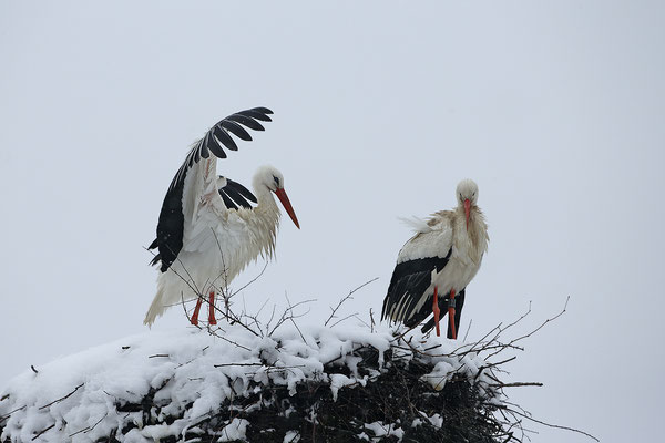 Weissstorch,White Stork,Ciconia ciconia 0117