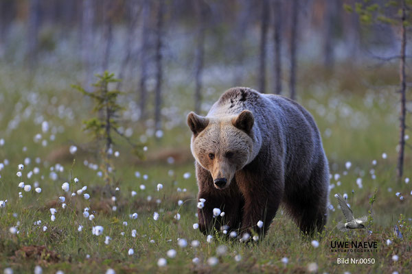 Braunbaer Ursus arctos brown bear 0050