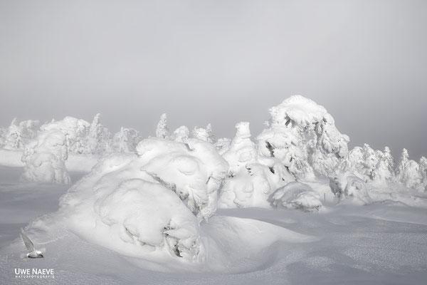 Harz, Brocken,Fichtenwald im Winter 8883