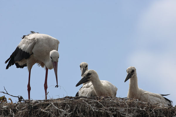 Weissstoerche,White Stork,Ciconia ciconia 0054